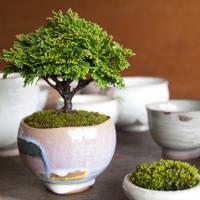 link_bonsai.jpg